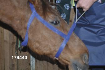 Halter dla konia do RTG