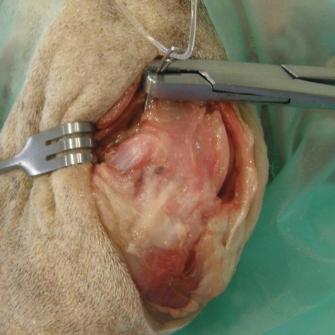 Stabilizacja Extracapsular Cranial Cruciate