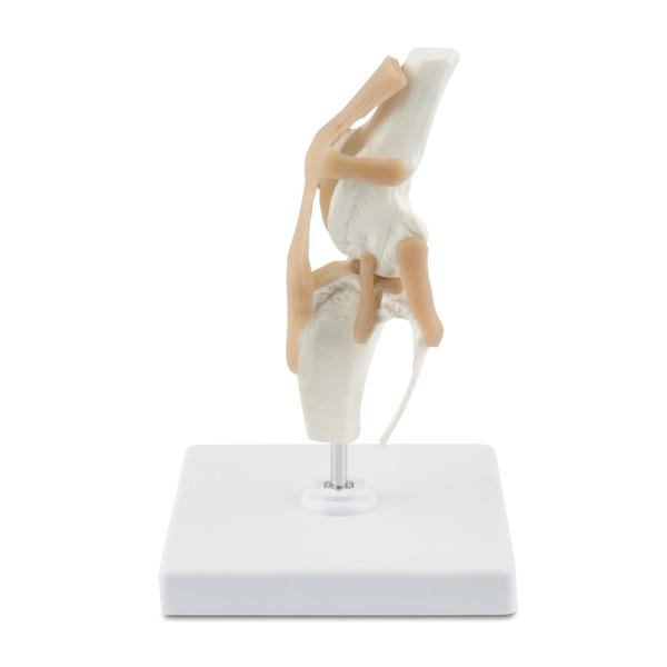 Model kostny kolana psa